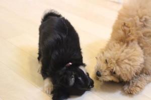 パピーパーティー 子犬の社会化