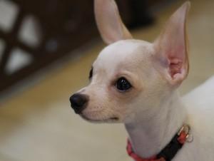 ミックス犬のミルキーちゃん