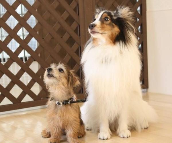 犬の保育園 しつけノーフォークテリア