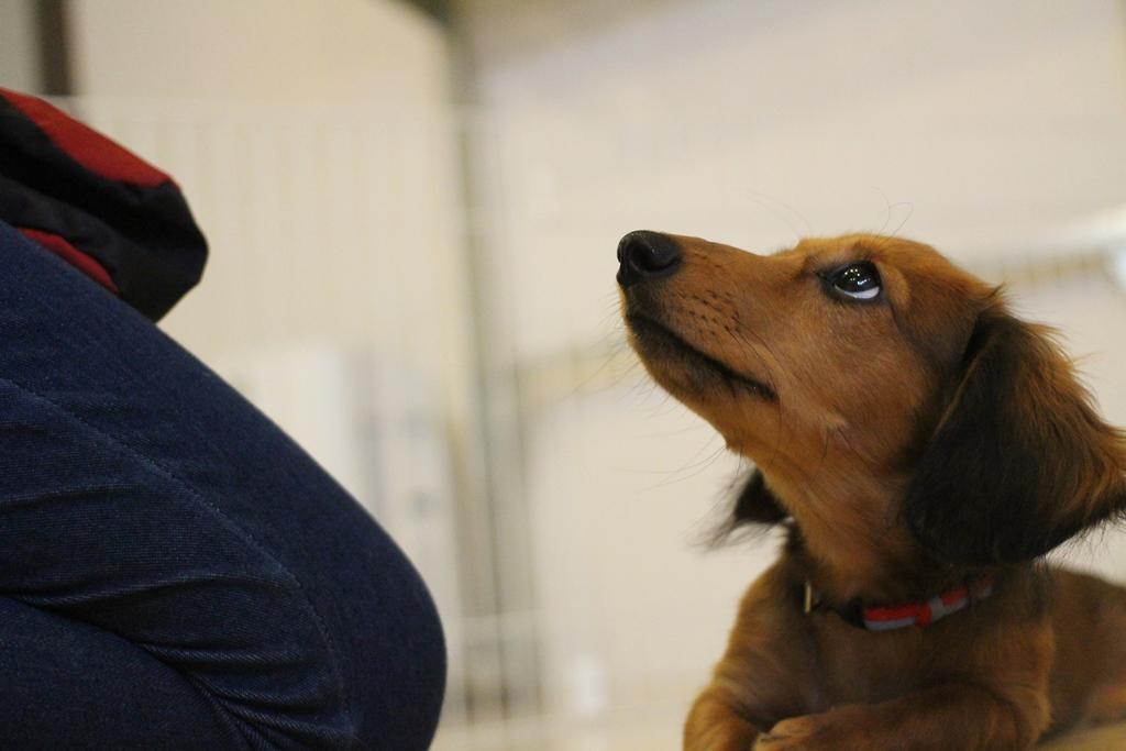 犬の保育園vowbee保育園生ダックスのデイジーちゃん
