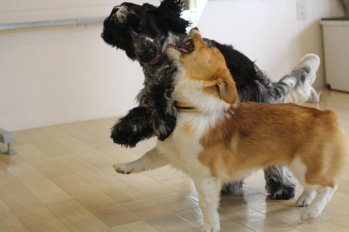 子犬のしつけ方 甘噛み
