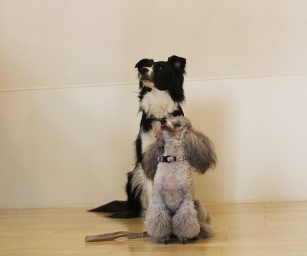 犬の基礎トレーニング 調布市仙川