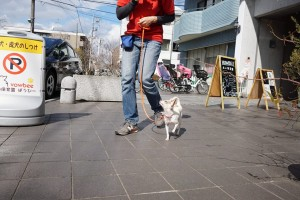 散歩練習中のチワワ×ミニチュアピンシャー