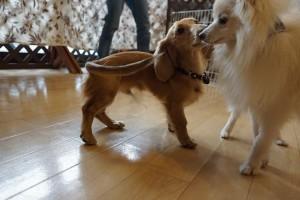 犬の保育園生カニンヘンダックスフント