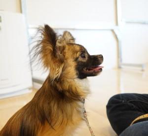 犬の保育園生チワワ