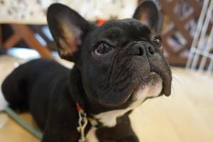 犬の保育園生フレンチブルドッグ