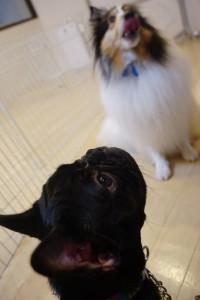 犬の保育園生 フレンチブルドッグパピー