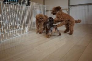 子犬の遊び