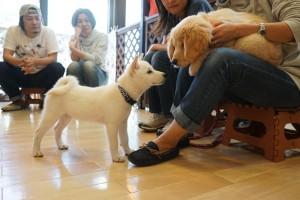 ゴールデンレトリーバーと柴犬