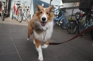 シェルティ 散歩練習