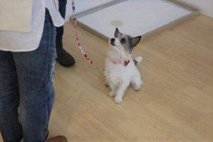 犬の保育園 トレーニングイベント ジャックラッセルテリア
