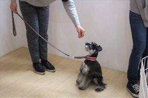 犬の保育園 トレーニングイベント ミニチュアシュナウザー