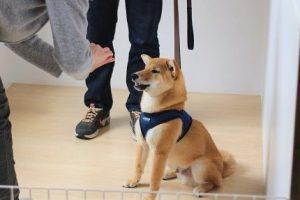犬の保育園 トレーニングイベント 柴犬