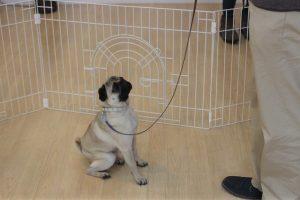 犬の保育園 トレーニングイベント マテ パグ