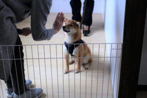 トレーニングイベント マテ 柴犬