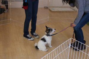 犬の保育園 ジャックラッセルテリア オスワリ