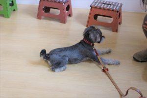 犬の保育園 ミニチュアシュナウザー フセ