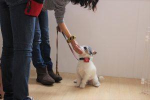 犬の保育園 ジャックラッセルテリア スワレ