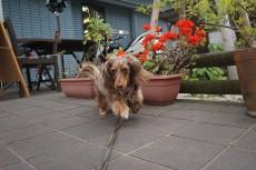 犬の保育園 カニンヘンダックスフンド お散歩