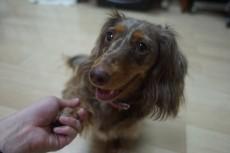 犬の保育園 カニンヘンダックスフンド お手