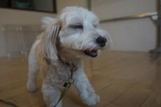犬の保育園 マルチーズ ミニチュアダックスフント