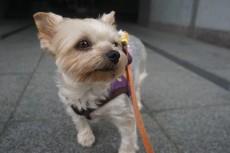 犬の保育園 ヨークシャーテリア お散歩