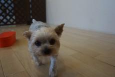 犬の保育園 ヨークシャーテリア