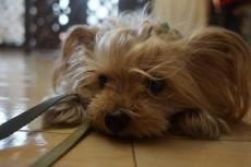 犬の保育園 ヨークシャーテリア トリック