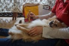 犬の保育園 ポメラニアン ブラッシング