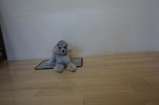犬の保育園 トイプードル マット