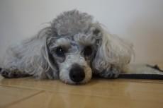 犬の保育園 トイプードル トリック