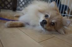 犬の保育園 ポメラニアン バーン