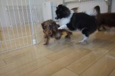 犬の保育園 犬慣れ 犬同士の遊び