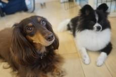 犬の保育園 カニンヘンダックスフンド
