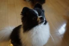 犬の保育園 ポメラニアン
