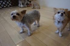 犬の保育園 ヨークシャーテリア チワワ