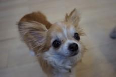 犬の保育園 チワワ