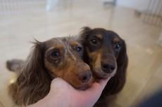 犬の保育園 カニンヘンダックスフンド トリック