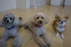 犬の保育園 トイプードル チワワ