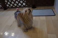 犬の保育園 ヨークシャーテリア バック