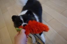 犬の保育園 ポメラニアン おもちゃ遊び