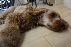 犬の保育園 イングリッシュコッカースパニエル バーン
