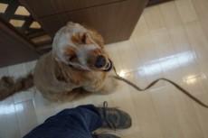 犬の保育園 イングリッシュコッカースパニエル ツケ