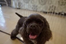 犬の保育園 アメリカンコッカースパニエル