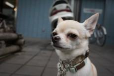 犬の保育園 チワワ お散歩