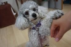 犬の保育園 トイプードル お手