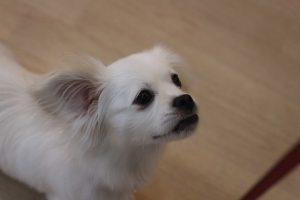 犬の保育園 vowbee ペキニーズ ミニチュアダックスフンド