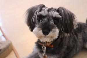 犬の保育園 vowbee ミニチュアシュナウザー