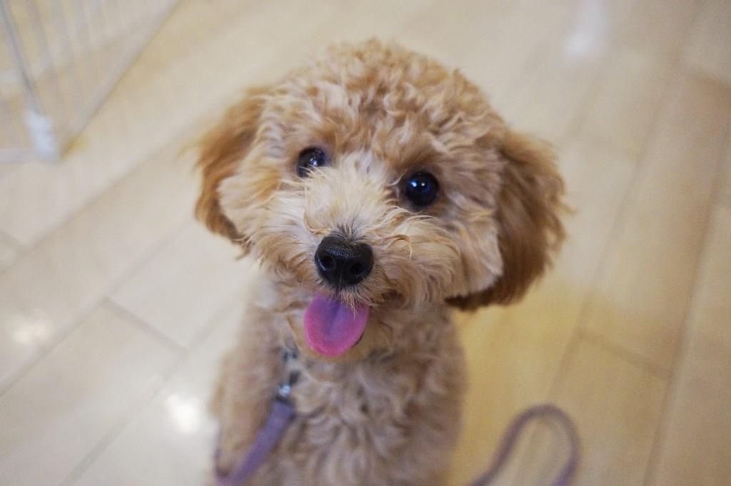 犬の保育園 仙川 調布 駅 犬のトレーニング トイプードル