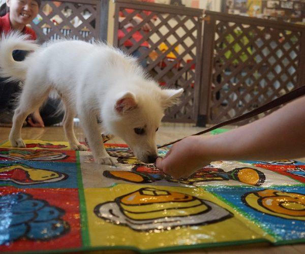 スピッツ 犬の保育園 ばうびー パピーパーティー 物慣れ 足場慣れ レジャーシートの上を歩く フードの誘導 ご飯が好き オヤツを食べる